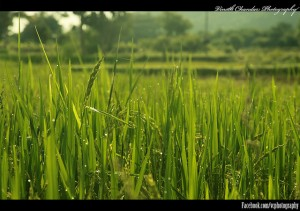 Flickr - Grass - VinothChandar