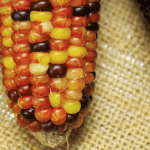 From Mexico to India: Monsanto is Killing More Than Just Biodiversity