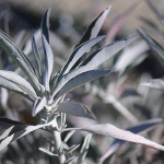 Sacred White Sage: A Way to Clear Negativity