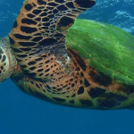How to Help One of Nature's Most Noble Creatures – The Hawksbill Sea Turtle