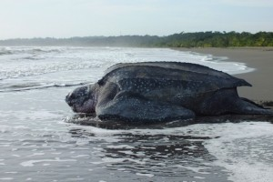 0609.leatherbackseaturtle.S0453464.600