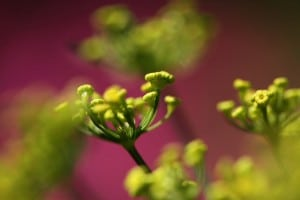 Flickr-fennel-jenny downing
