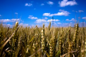 Flickr-wheat-KevinLallier