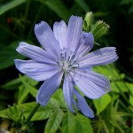 Flickr-chicory-longhairbroad
