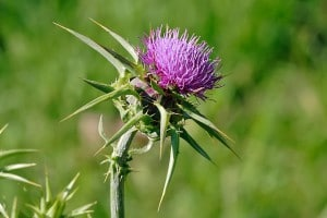 WIKI-milkthistle