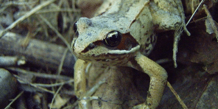 Amphibians Evolve Resistance to Popular Pesticide