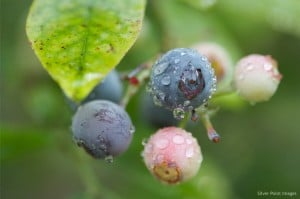 Flickr -Blueberries - hankinsphoto.com