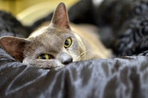 Flickr-burmese cat-olliethebastard