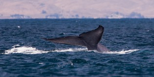 Sonar Directly Impacts Whale Behavior, According to Military Study