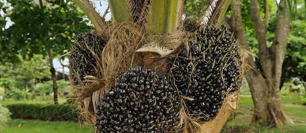 3 Reasons To Stay Away From Any Kind of Palm Fruit Oil And Why
