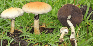 Medical Mushrooms – The Future of Cancer Treatment?