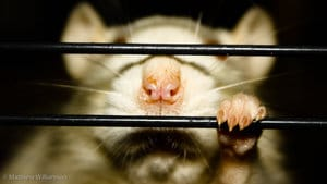 Rat__Caged__by_Zyphadellus
