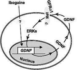 ibogaine-GDNF-autoregulation-loop
