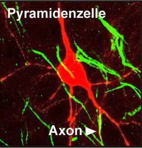 This image shows a neuron in which the axon originates at a dendrite. Signals arriving at this dendrites become more efficiently forwarded than signals input elsewhere. Copyright: Alexei V. Egorov, 2014