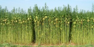 Hemp: The World's Most Versatile and Useful Plant