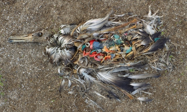 Decaying bird on the beach of the remote Midway Atoll. Photograph: Chris Jordan