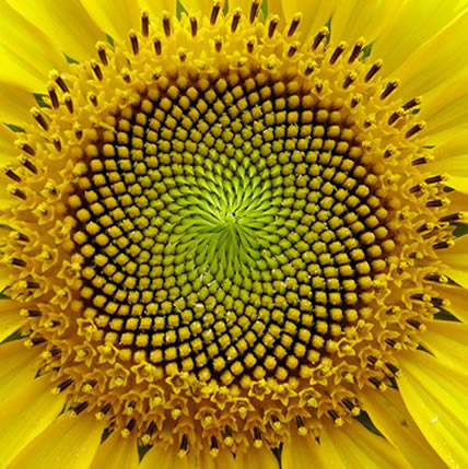 15 PLANTS THAT TEACH US SACRED GEOMETRY Sgpic10