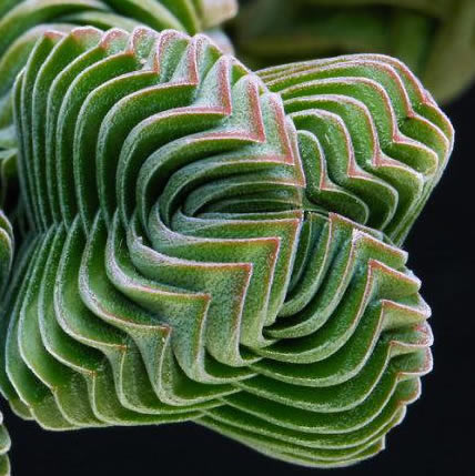 15 PLANTS THAT TEACH US SACRED GEOMETRY Sgpic3