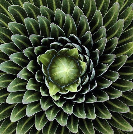 15 PLANTS THAT TEACH US SACRED GEOMETRY Sgpic7