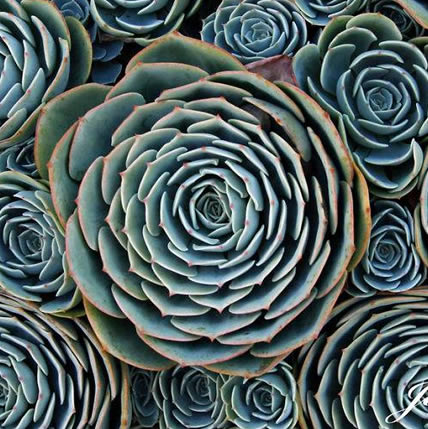 15 PLANTS THAT TEACH US SACRED GEOMETRY Sgpic9