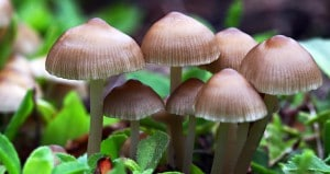 Mushrooms Psilocybin