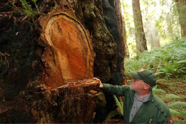 Redwood Burl Poaching-2