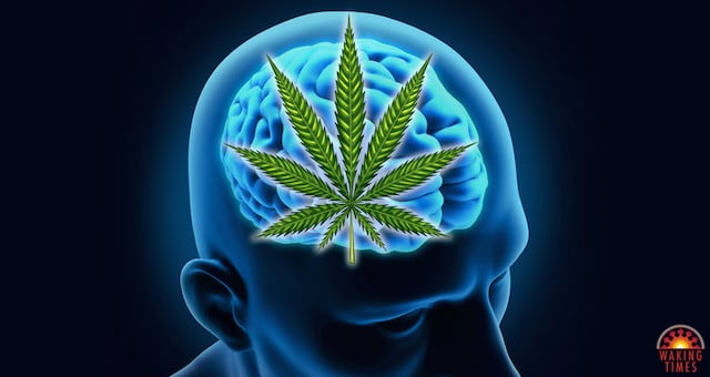 Cannabis Reverses Aging Process in the Brain