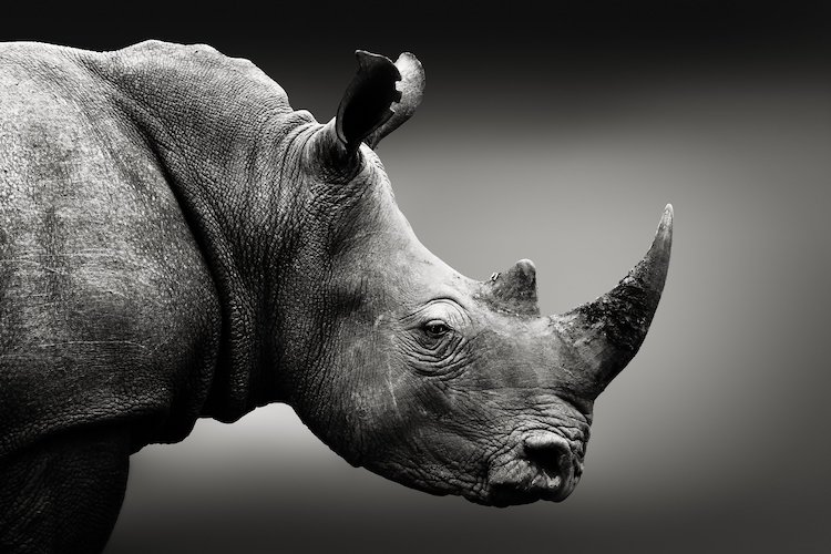 Rhinos, endangered species