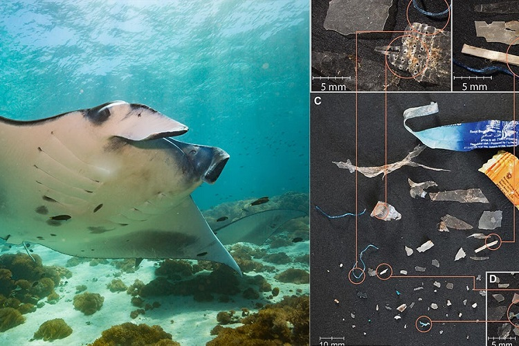Study Estimates Sharks And Manta Rays Consuming Up To 137 Plastic Pieces Per Hour