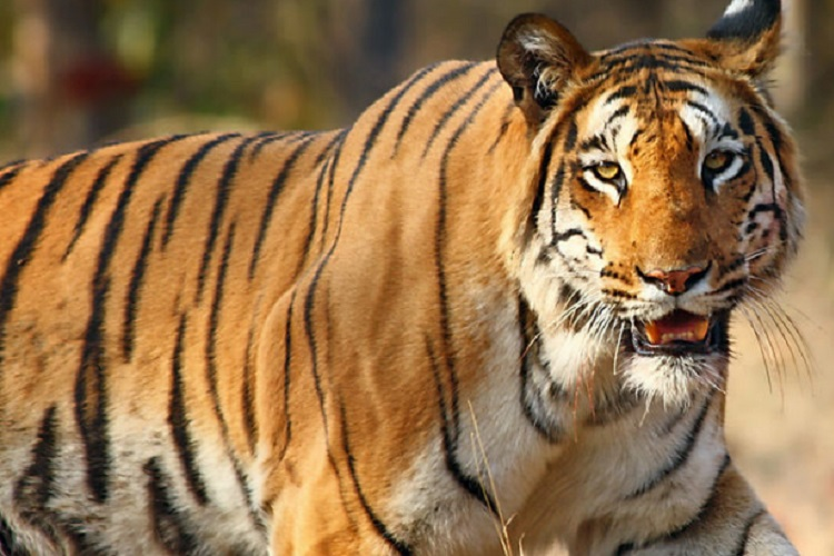 India's Tiger Population is Rising and This Photo Provides Brilliant Proof