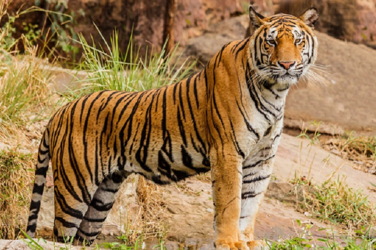 Couple Has Been Buying Land Near a Tiger Reserve and Letting Forest Grow Back so Big Cats Can Roam