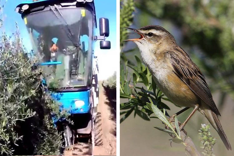 Mechanized Olive Farming Killing Millions of Songbirds Every Year